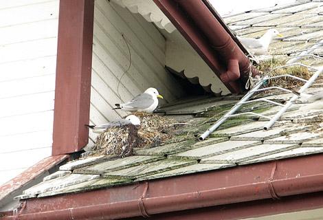 Möwen nisten auf Hausdach