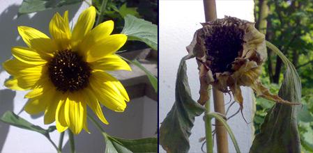 Blühende und verwelkte Sonnenblume