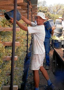Jens bei der Arbeit auf einer Rosinenfarm